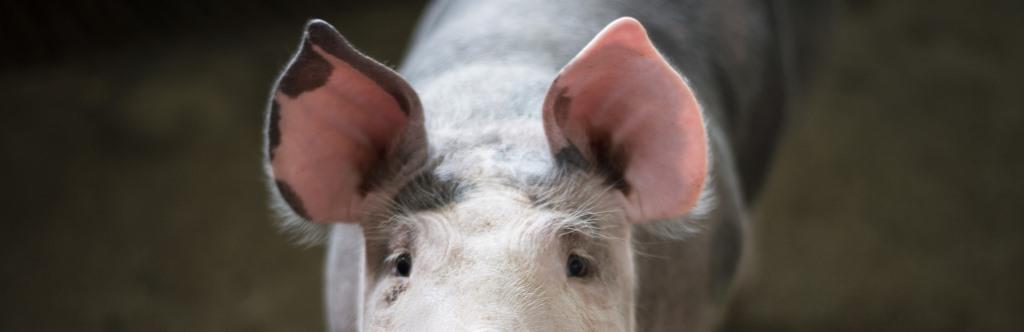 BCCA Livestock